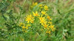 Summertime (abrideu) Tags: abrideu flowers flower depthoffield plant outdoor wildflowers bokeh ngc npc