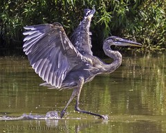 Great Blue Heron Ballet IMG_3939 (ronzigler) Tags: great blue heron bird birdwatcher avian nature canon 300mm f4 14x 420mm