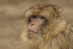 Berberaap - Ouwehands (Jan de Neijs Photography) Tags: berberaap berber ouwehands ouwehandsdierenpark dierentuin zoo tamron tamron150600 macaque barbarymacaque