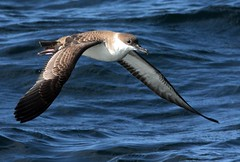 Great Shearwater, off Chatham, MA (petertrull) Tags: elements