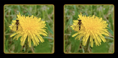 Male Ornate Snipe Fly on Dandelion 3 - Crosseye 3D (DarkOnus) Tags: male ornate snipe fly dandelion chrysopilus ornatus weed pennsylvania buckscounty huawei mate8 cell phone 3d stereogram stereography stereo darkonus closeup macro insect crossview crosseye