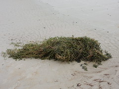 Torn From the Sea Floor (mikecogh) Tags: henleybeach seagrass disturbed torn beach sand clump storm