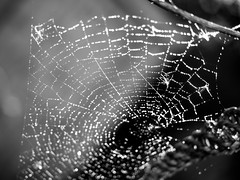 spiders web-8210099 (E.........'s Diary) Tags: spider web water droplet eddie rossolympusomdem5markiiscotlandaugust2016newbu rossolympusomdem5markiiscotlandaugust2016newburghfifescotland