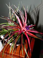 Tillandsia velutina 7-16 (nolehace) Tags: tillandsia velutina 716 summer nolehace sanfrancisco fz1000 flower plant bloom