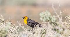Yellow-headed Blackbird, City of Henderson, USA, 2016 (Fred-Gao) Tags: yellowheadedblackbird cityofhenderson bird animal nv usa lasvegas 2016 park