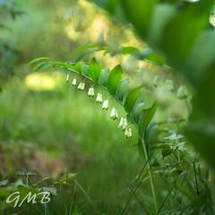 Spring... (I am a few months behind!) (Mia Carrera) Tags: spring printemps clochettes vert fleur blanc green white