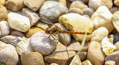 Dragonfly on Quartz (nicklucas2) Tags: insect dragonfly pebble