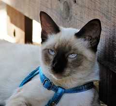 Lalo (ameliapardo) Tags: mascotas animales gatos felinos animalesdecompaia