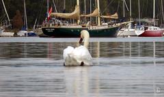 On the Lake (kaprysnamorela) Tags: tommythompsonpark toronto ontario canada swan water lake ontariolake nikoncoolpixs9400