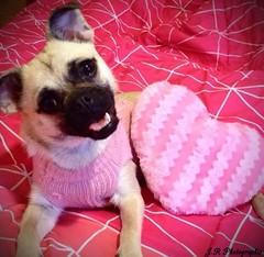CARLINxCHIHUAHUA (jooe2426@gmail.com) Tags: cute pug carlin chihuahua beautiful hihi