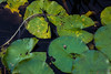 lily pads 2 (jfl1066) Tags: centraljersey nj newjersey rutgersgardens centraljerseyphotography middlesexcounty canoneos5dmarkiv