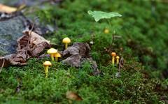 DSC_9460 (devoutly_evasive) Tags: tiny little yellow mushrooms shrooms fungus fungi forest moss mossy mini