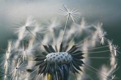 The dandelion (Pog's pix) Tags: sliderssunday