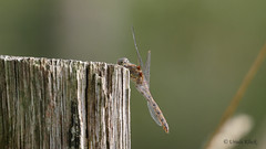 Libelle (Oerliuschi) Tags: libelle dragonfly insekten nahaufnahme makro olympusm60 panasonic lumixgx8 schärfentiefe natur fluginsekt
