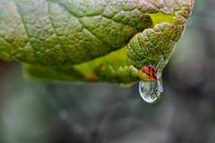 Goutte d'automne (jjcordier) Tags: goutte eau macro reflet transparence profondeurdechamp feuille automne