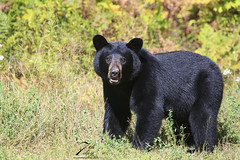 You can see me? (Seventh day photography.ca) Tags: blackbear bear animal wildanimal wildlife predator mammal ontario canada summer