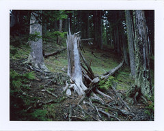 In The Spruce Forest 12 (sycamoretrees) Tags: analog automatic100 film forest fp100c fp100c201603 fuji instantfilm landcamera marianrainerharbach model100 packfilm polaroid spruce treestump trees type100