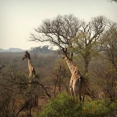 Giraffe (Iam Marjon Bleeker) Tags: southafrica zuidafrika krugerpark wildlife giraffe krugerimg0793v