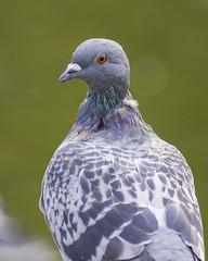 Photo of Pigeon Portrait