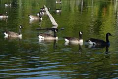 2016 NE Vacation19-Sinking Pond Wildlife Santuary Swans2-East Aurora, NY (Phaota2) Tags: sinking pond wildlife sanctuary aurora new york ny swan swans
