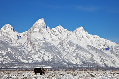 Grand Tetons, Bull Moose (Daryl L. Hunter - The Hole Picture) Tags: usa unitedstates wildlife bluesky wyoming jacksonhole winterlandscape bullmoose tallmountains grandtetonlandscape moosegrandtetons
