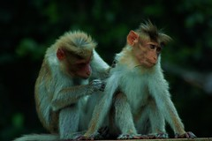 Helping Hand (Binu Raj) Tags: couple monkeys ooty helpinghand