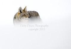 Dressed in snow (Deby Dixon) Tags: coyote winter snow tourism nature photography nationalpark travels wildlife yellowstonenationalpark yellowstone wyoming debydixonphotography