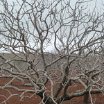 "Pistachio tree <a style=""margin-left:10px; font-size:0.8em;"" href=""http://www.flickr.com/photos/59134591@N00/8432110485/"" target=""_blank"">@flickr</a>"
