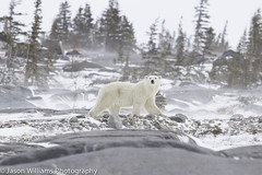 "Polar Bear in Churchill along the Hudson Bay. • <a style=""font-size:0.8em;"" href=""http://www.flickr.com/photos/92120860@N06/8454775304/"" target=""_blank"">View on Flickr</a>"