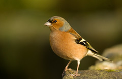 Chaffinch - Portadown (Alistair Prentice.) Tags: ireland male bird canal colours pentax feathers cock prentice northern alistair ulster chaffinch portadown newry