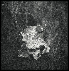 log, version 2 (thoughtfactory) Tags: holiday log imac kangarooisland 7am phototrip americanriver gitzotripod independencetrail ilfordpanfplus50 rolleiflexsl66 epsonv700scan garysauerthompson zeissdistagon50mmf4 prolabprocessed