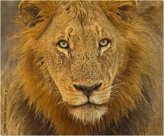 Afrikanischer Lwe (Sonnenblume) Tags: wildlife safari afrika sdafrika gamereserve sugetier abenteuer raubtier wildetiere afrikas freiewildbahn lwenportrait diegrossenfnf copyrightkatharinaagner