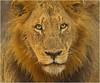 Afrikanischer Löwe (Sonnenblume♥) Tags: wildlife safari afrika südafrika gamereserve säugetier abenteuer raubtier wildetiere afrikas freiewildbahn löwenportrait diegrossenfünf copyrightkatharinaagner