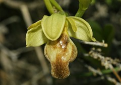 Ophrys fusca var hipocromatica (alcedofoto.) Tags: