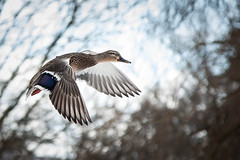 Ducks (Justin Lo Photography) Tags: life winter snow canada cold bird ice nature birds animal animals flying duck wings action wildlife flight feathers ducks