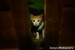 門縫外的貓 (joyoyo) Tags: cat nikon taiwan 台灣 動物 貓 后里 台中市 nikon35mmf2d nikond600 joyoyo