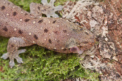 IMG_8347 copy (Kurt (OrionHerpAdventure.com)) Tags: reptile lizard gecko reptiles herps herpetology reptilia