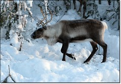 The reindeer is seeking food (HJsfoto) Tags: winter snow reindeer ren almostanything