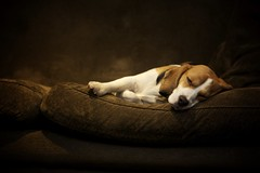 Let sleeping dogs lie (kerrywho) Tags: beagle flossy farmborough castlefarm kerrywho