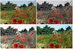 la normandie (pontfire) Tags: flowers red plant france flower color macro green fleur fleurs plante insect landscape rouge fly vert bee poppy normandie vol paysage normandy couleur multicolor abeille insecte plantes coquelicot fulcolor pontfire