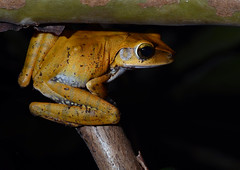 Polypedates sp. (Misenus1) Tags: cambodia frogs animalia kampongthom anura amphibia chordata rhacophoridae taxonomy:class=amphibia taxonomy:order=anura taxonomy:kingdom=animalia taxonomy:phylum=chordata polypedates taxonomy:family=rhacophoridae taxonomy:genus=polypedates