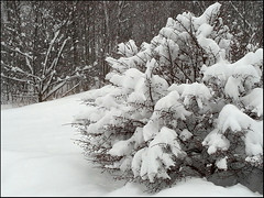 20130224_164740 snowy bush (Valntyn) Tags: snow bush phonecamera burningbush
