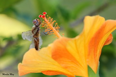 A Liblula e o Hibisco - The Dragonfly and the Hibiscus ... Feliz Quinta Flower... (Marlia Mag) Tags: flowers canon dragonfly hibiscus hibisco liblula
