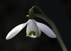 Snow Drop (aldenchadwick) Tags: spring crocus springflowers snowdrop