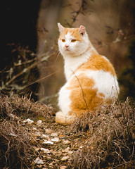 chassant Tinelle (jibi walker) Tags: pet france nature cat nikon chat lot walker franais roux jibi chassant jibiwalker