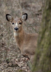 deer eyebrows? (EXPLORED) (judecat (it's all in the Nature of things)) Tags: nature wildlife deer eyebrows whitetaildeer pennsylvaniawildlife