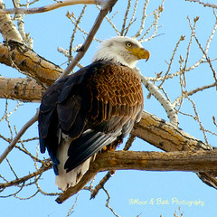 Fishing The Colorado River (Aspenbreeze) Tags: bird colorado eagle wildlife baldeagle wildanimal avian wildbird coloradowildlife aspenbreeze rememberthatmomentlevel4 rememberthatmomentlevel1 rememberthatmomentlevel2 rememberthatmomentlevel3 bestevercompetitiongroup rememberthatmomentlevel5 bevzuerlein