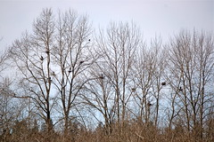 Herons nesting Marymoor Park at Lake Sammamish, WA (jc.winkler) Tags: