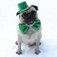 Pug St. Patrick's Day (DaPuglet) Tags: irish dog pets holiday cute green dogs animals puppy costume puppies funny paddy lol humor patrick pug meme card patricks pugs greeting