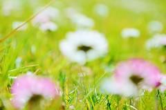 Pink - Explored! (Tinina67) Tags: blur flower garden spring wiese jardin daisy tina blume garten fruehling wayside tinina67